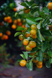 Kumquat trees and fruits Royalty Free Stock Photography