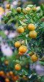 Kumquat trees and fruits Stock Photo