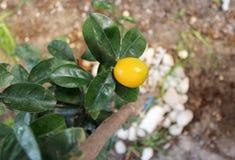 Kumquat tropical fruit crop on the tree Royalty Free Stock Photos