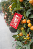 Kumquat van het festival Royalty-vrije Stock Afbeelding