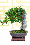 Kumquat van Hongkong de bonsaiinstallatie van fortunellahindsii Royalty-vrije Stock Afbeeldingen