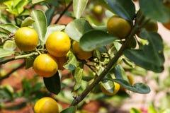 Kumquatfrukt eller citrusjaponicatumme Royaltyfri Fotografi
