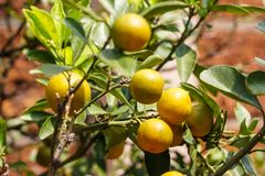 Kumquatfrukt eller citrusjaponicatumme Royaltyfri Foto