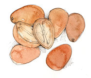 Kumquats. Hand Drawn & Painted illustration of Kumquats Stock Images
