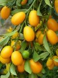 kumquats Imagenes de archivo