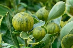 Kumquats como plantas del álcali Imagen de archivo libre de regalías