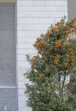 Kumquats are a group of small fruit-bearing trees in the flowering plant family Rutaceae royalty free stock images