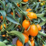 Kumquats sur l'usine Photo stock