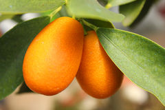 Kumquats on the tree. Some kumquats on the tree Stock Images