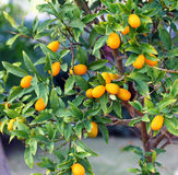Kumquatträd Arkivfoton