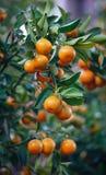 Kumquatträd och frukter Royaltyfri Fotografi