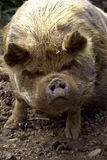 Kuna Kuna Pig Stock Photo