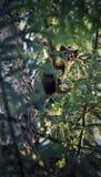 Kuna w lesie Zdjęcie Royalty Free