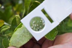 Kundschaften für weiße Fliege auf einem Zitrusfruchtbaum mit einer Handlinse lizenzfreies stockbild