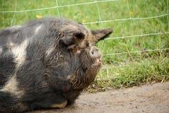 Kune kune świni zakończenie up Fotografia Stock