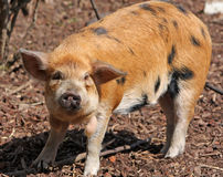 Kune Kune pig Royalty Free Stock Images
