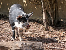 Kune Kune Pig Royalty Free Stock Photo