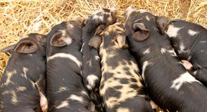 Kune Kune Piglets sleeping together to keep warm Royalty Free Stock Photo