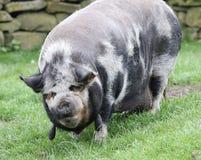 Kune kune świnia Fotografia Royalty Free