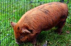 Kune świnia Obrazy Royalty Free