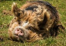 Kunekune猪 库存照片