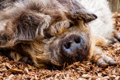 Kunekune Pig. A Kune Kune Pig, originating from New Zealand, lies in his bed of wood chips apparently happy with his contented face full of humour stock photo