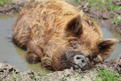 Kunekune Pig Sus scrofa domesticus. In Mud Hole stock photography