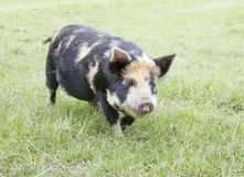 Kunekune piglet Royalty Free Stock Photography