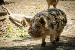 Kunekune Walking, New Zealand Native Pig Eating stock photography