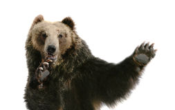 Kung-fu  Bear Royalty Free Stock Photography