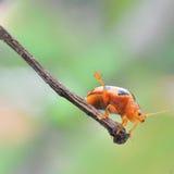 Kung Fu Beetle Stock Image