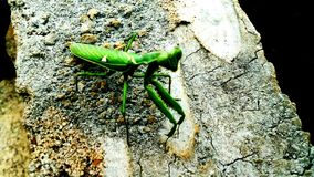 Kung fu master of the insects. I caught it in my village Stock Photography