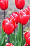 Kung Fu .    Triumph Tulip.  Deep pinkish-red bloom with a thin white-pink edge. stock images