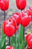 Kung-fu Tulip?n de Triumph Floraci?n ros?ceo-roja profunda con un borde blanco-rosado fino imagenes de archivo