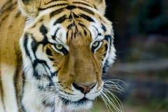 Kunglig bengal tiger med stirrande royaltyfri foto