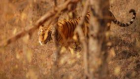 Kunglig bengal tiger på en härlig guld- bakgrund Fantastisk tiger i naturlivsmiljön Djurlivplats med det varma farliga fät Royaltyfria Bilder