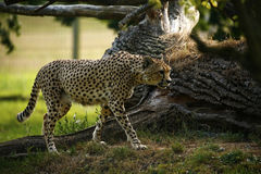 Kunglig gepard det snabbaste djuret i världen fotografering för bildbyråer