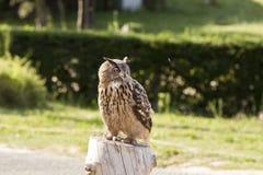 Kunglig Owl Arkivbild