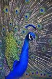 Kunglig påfågel Arkivfoton