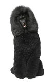 kunglig sitting för svart poodle Arkivfoton