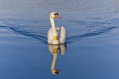 kunglig swan royaltyfria foton