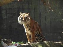 Kunglig tiger Royaltyfri Bild
