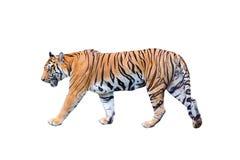 Kunglig tiger som går på en vit bakgrund arkivfoton