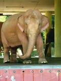 Kunglig vit elefant Royaltyfria Bilder