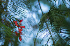 Kungliga poincianaträdblommor Arkivbild