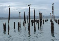 Kungliga tärnaseagulls på pelare i det karibiska havet i det Guanacaste landskapet, Costa Rica på pelare i det karibiska havet i Royaltyfria Bilder