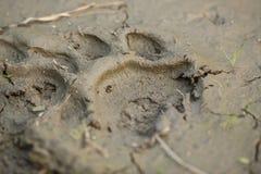 Kungligt fotspår för Bengal tiger i gyttja Fotografering för Bildbyråer