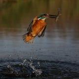 Kungsfiskare Alcedoatthis Royaltyfri Foto