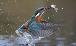 Kungsfiskare Alcedoatthis arkivfoto