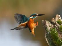 Kungsfiskare Alcedoatthis Royaltyfri Bild